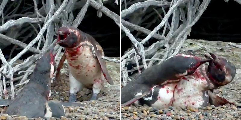 【影片】被戴綠帽不甘心! 企鵝先生爆氣狂毆小王