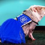 轉角遇到豬!SFO 舊金山機場最新萌寵療癒師,豬仔 LiLou!