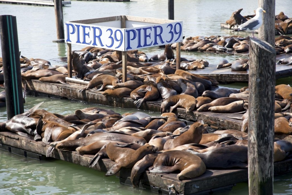 pier-39-Sea-Lion-1024x683