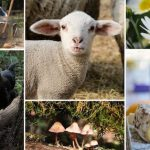Sheep Shearing & Homesteaders Fair 綿羊秀!灣區小農家庭日 (4/27)